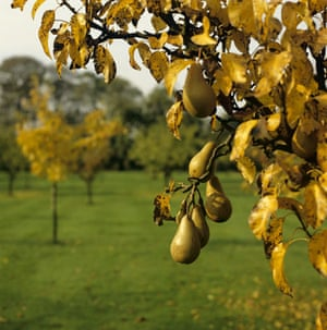 pear orchard2