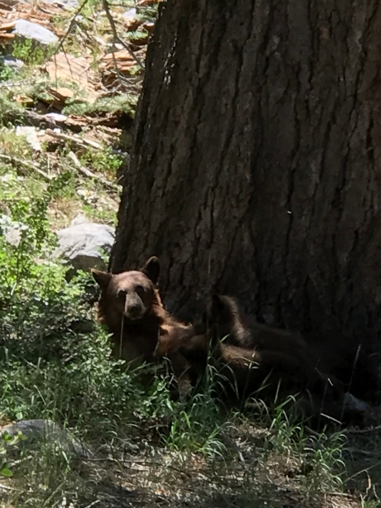 Mama bear and two suckling cubs next to large tree